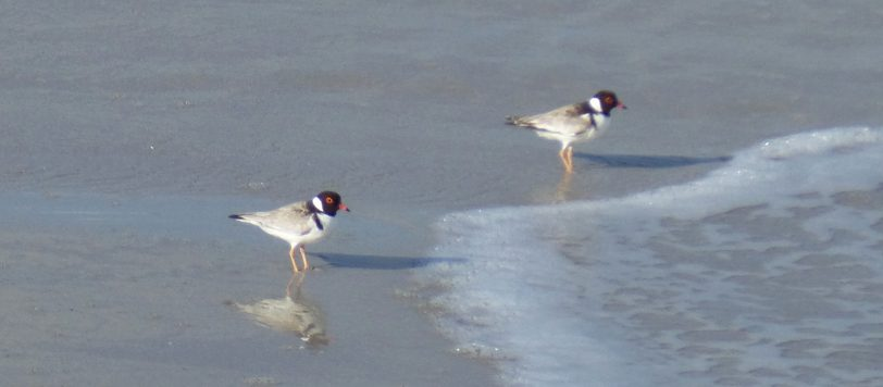 Hooded dotterel or hooded plover (Thinornis cucullatus)