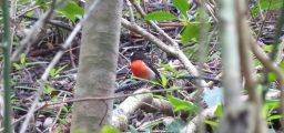 Pacific robin (Petroica pusilla)